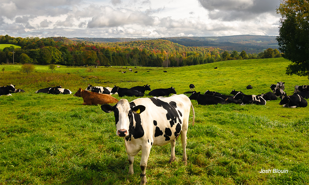 Cabot Cow