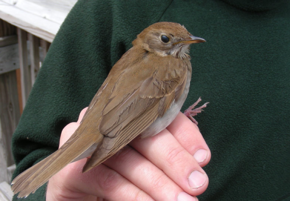 The Veery x Bicknell's Thrush hybrid fondly known as