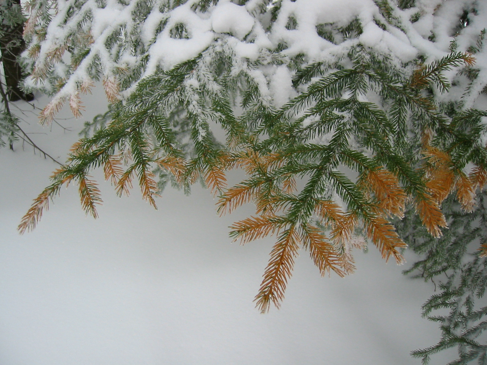 Red spruce needle injury